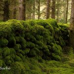 Moss covered ancient walls in the forest at Gougane Barra