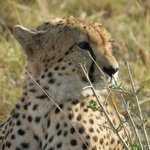 Lone young male cheetah posing for us