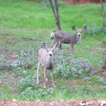 Family of Deer that camy by to Visit