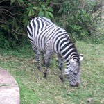 Zebra up at the lodge