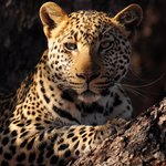 Fantastic sighting of a magnificent leopard