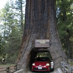 In the giant redwood!