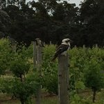 Kookies enjoying the vines at Leeuwin Estate