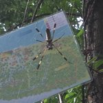 Golden orb weaver spider on the trails behind the lodge