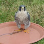 One of Trevor's Peregrine Falcons