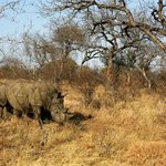 Game Drive: White Rhino
