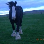 Massive Shire horse seen from the tractor ride