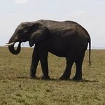 Elephant seen in afternoon on way from Keekorok airstrip to camp