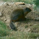Ground squirrels inhabit region.   Build undergroud burrows