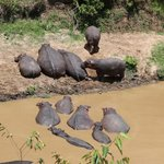View of the hippos from the tent