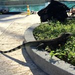 There are iguanas that hang out by the pool