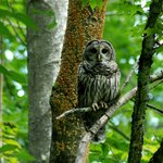 Barred Owl Cranberry Glades, WV