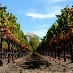 Grape vines on Stonestreet Vineyard land
