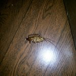 Flying cockroach in the room