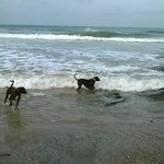 The owners dogs on Lusty Glaze Beach