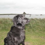 Aodhan our Flatcoated Retriever looking towards the harbour
