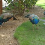 Peacocks outside our room! Daily Occurrence!