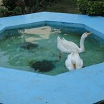 Swans in a mini pool