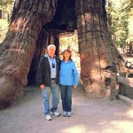 huge Sequoia in the Mariposa Forrest