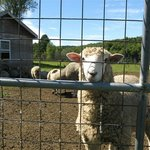 Curious and friendly Jacobs Sheep