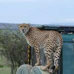 Cheetah gets close up to the 4x4