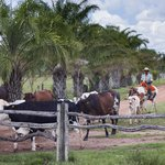 cattle arriving home at the ranch