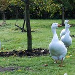 The friendly geese