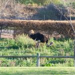 There was always an ostrich or two in the front of the farm.