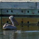 Pelican down by the waterfront - downtown Amelia Island