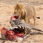 Lion Kill - near the swamp in Tarangire