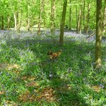 Bluebell time in Whippendell woods