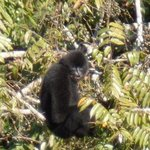 gibbons viewed from treehouse 1 (42x zoom) visible well with the naked eye