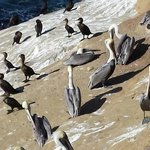 Pelicans and shags