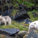 spirit bear and cub