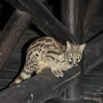 Night visitor - genet - less than 2 metres from us