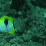 Teardrop Butterflyfish, leave them on the reef!!