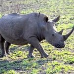 White Rhino at the Hluhluwe Game Reserve