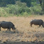 White Rhinos Grazing at the Hluhluwe Game reserve