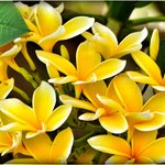 Frangipani all around in all colours!