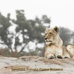Lioness on a misty morning