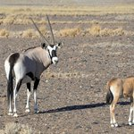 oryx come to close proximity of the lodge & guest rooms as do other antelope species
