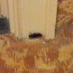 Live roach - but also note the condition of the carpets and baseboards
