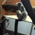 The ring tailed lemurs on the feed the lemurs experience