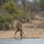 Giraffe drinking from the waterhole. Taken from room terrace at Gomo Gomo Lodge