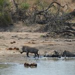 Warthogs mud bathing, taken from the deck at Gomo Gomo Lodge