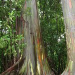 Awesome rainbow eucalyptus tree
