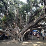 Old Indian Banyan Tree