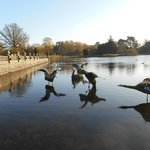 these birds are artificial but the lake is full of swans Canadian geese