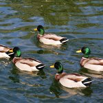 les canards colvert