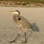 Veranda Beach Club - Longboat Key - Heron